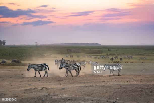 Zebra in the Africa