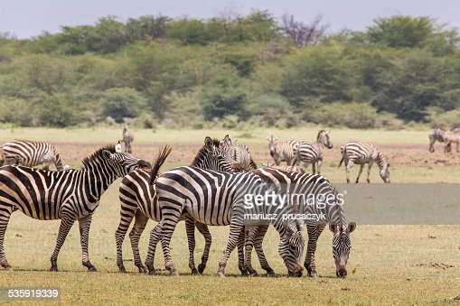 Zebra in the grass, Ngorongoro Crater, Tanzania. : Stock Photo
