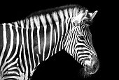 Zebra in the park with two alternating black and white makes the breast more powerful, powerful with a mane stood ready to fight in the wild, these animals should be preserved in the world