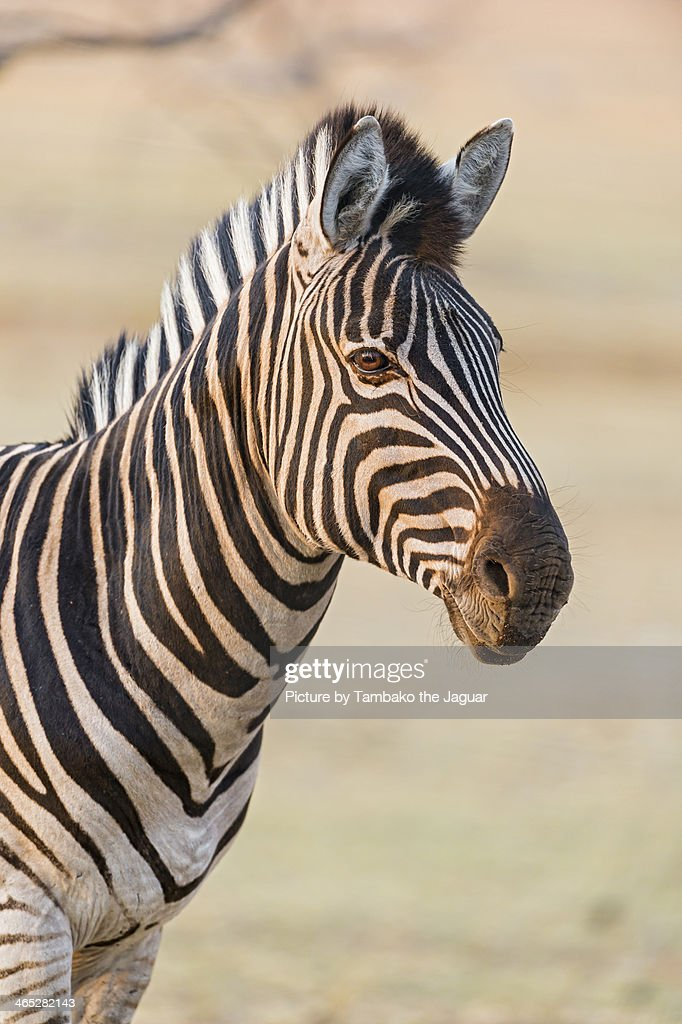 Zebra in the sunset