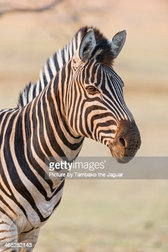 Zebra in the sunset : Stock Photo