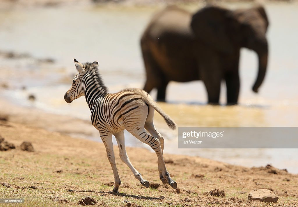 A zebra is pictured in Addo National Park on February 9, 2013 in Addo, South Africa.
