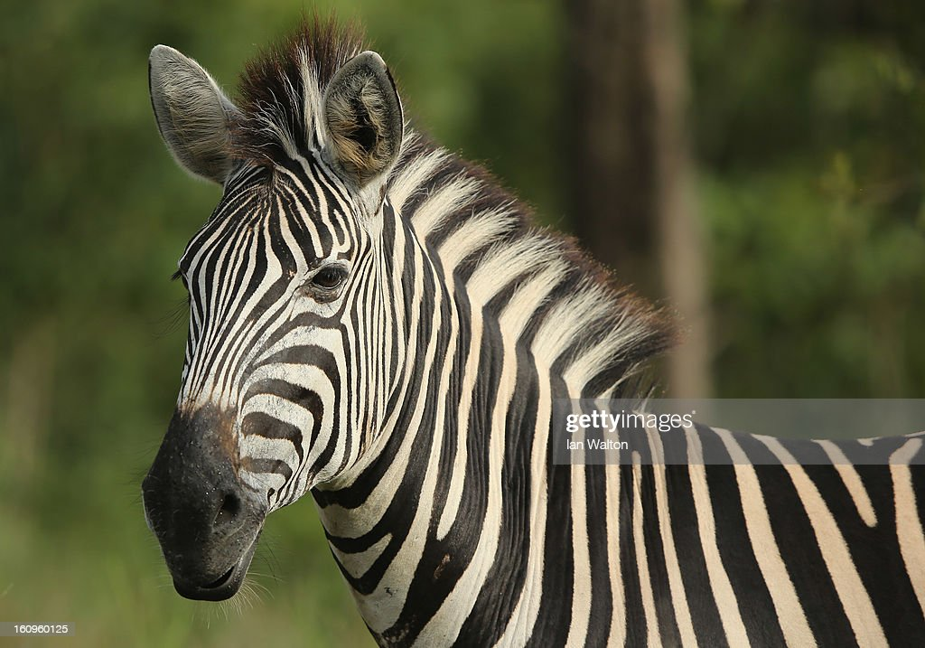 A zebra is pictured in Kruger National Park on February 6, 2013 in Skukuza, South Africa.