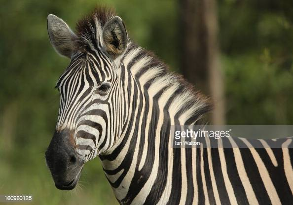 A zebra is pictured in Kruger National Park on February 6 2013 in Skukuza South Africa