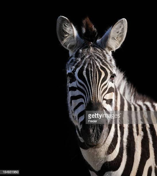 zebra isolated on black XXL