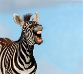 Plains or Burchell's zebra with mouth wide open and showing big teeth