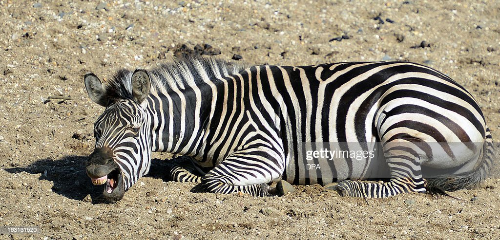 A zebra lies in his enclosure at the Gelsenkirchen zoo and enjoys the sunny early spring day on March 5, 2013 in Gelsenkirchen, western Germany. AFP PHOTO / CAROLINE SEIDEL GERMANY OUT