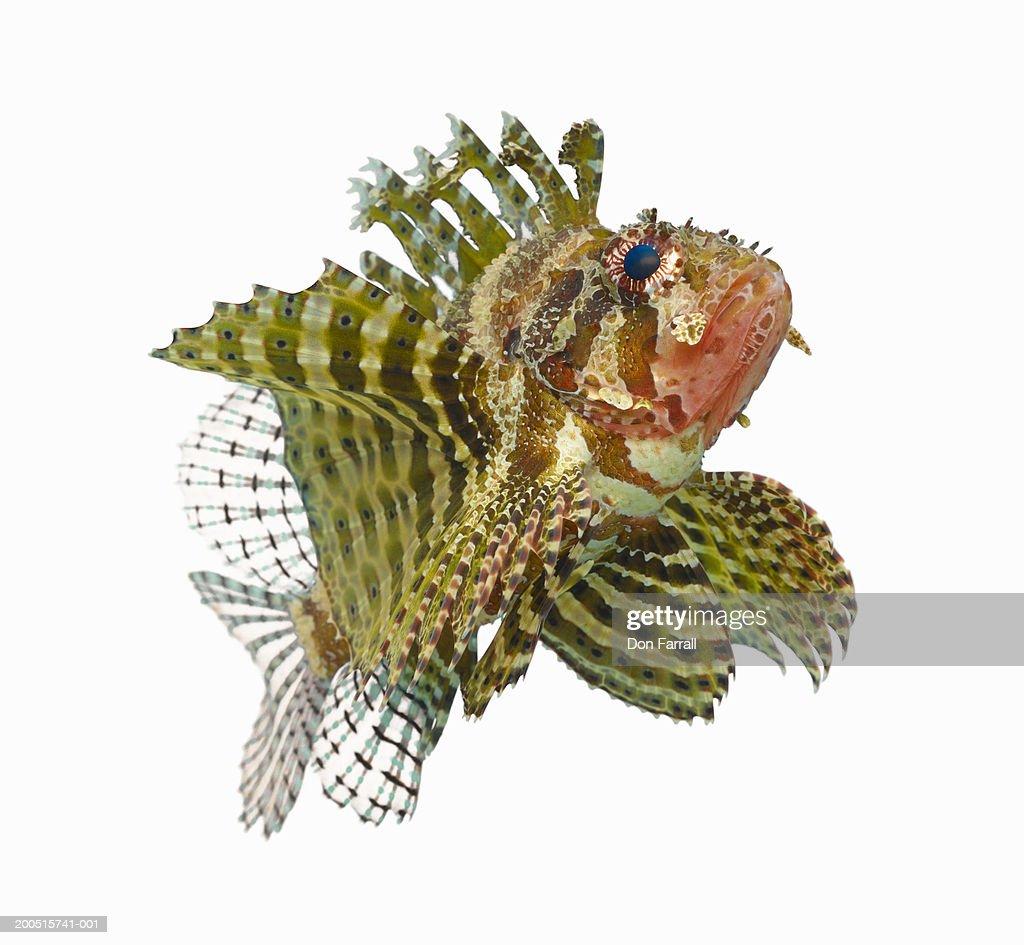 Zebra lionfish (Dendrochirus zebra) : Stock Photo