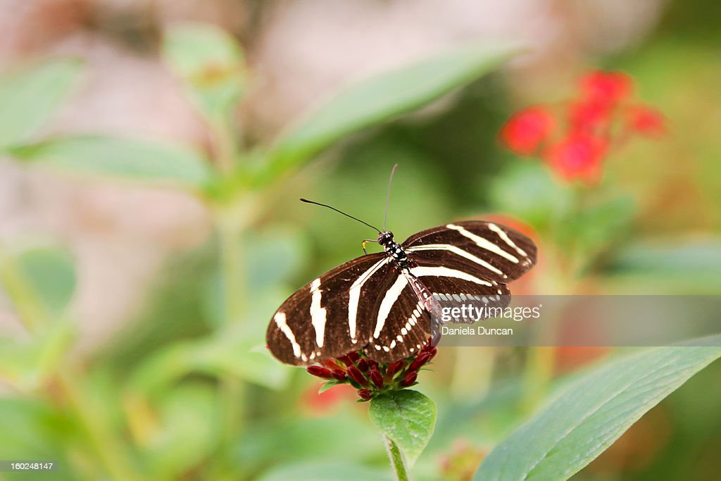 Zebra longwing butterfly : Stock Photo