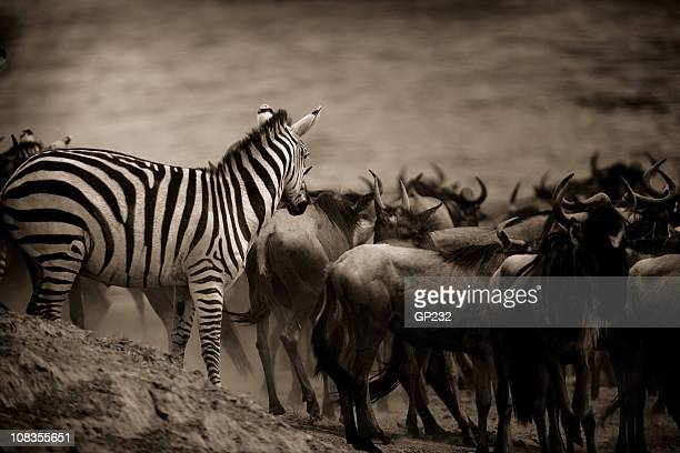 Zebra looking on