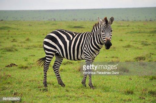 Zebra, Masai Mara National Reserve