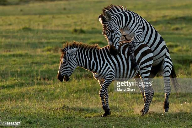 Zebra mating