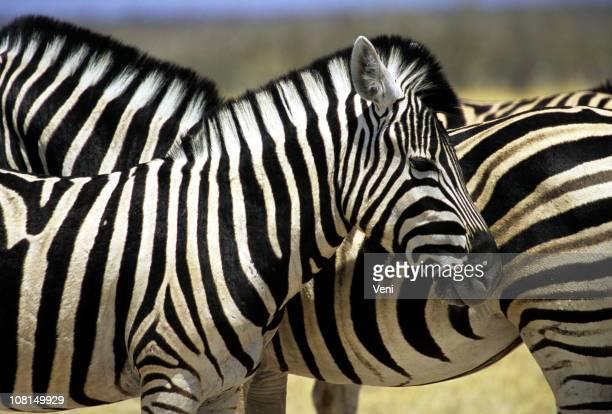 Zèbre Réserve animalière de Moremi, Botswana