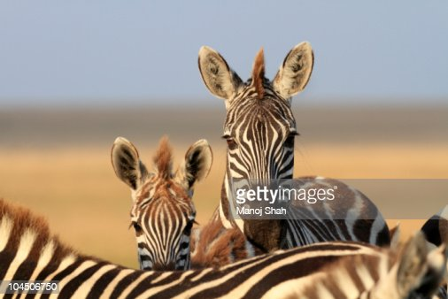 Zebra mother and foal watching