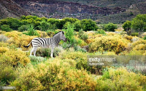 Zebra on the Savannah, Western Cape, South Africa.