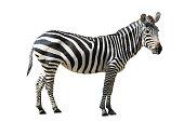 Zebra , isolated on white