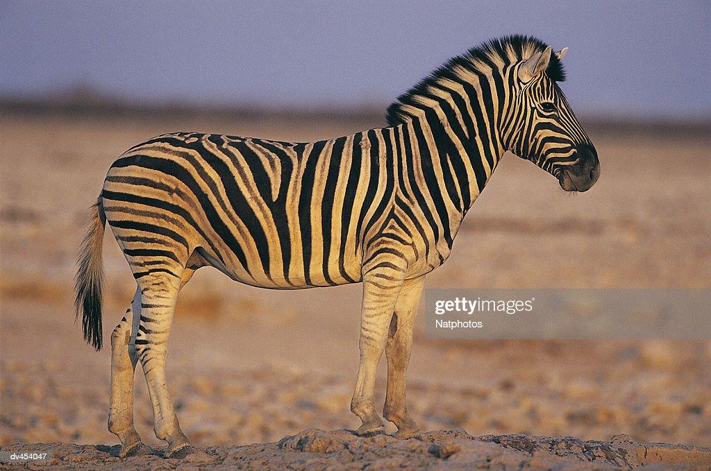 Zebra : Stock Photo