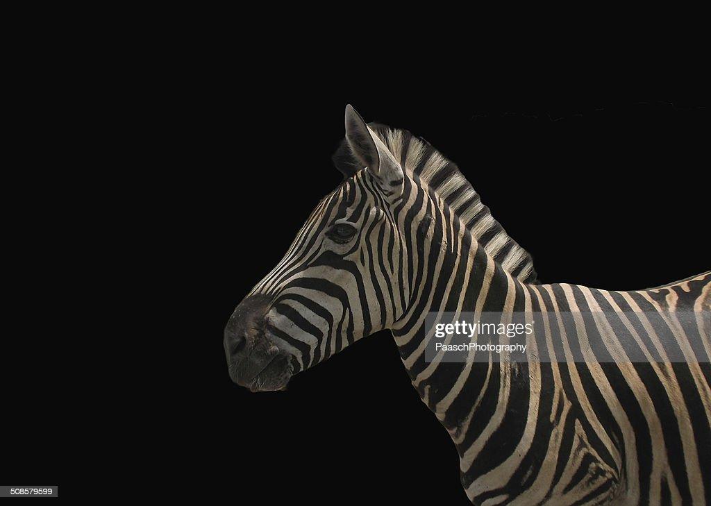 Zebra-Profil : Stock-Foto