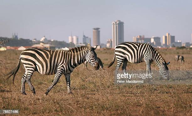 Zebra roam free in front of the Nairobi skyline at the Nairobi National Park on January 8 2008 in Kenya Tourism is a $1 billion industry in Kenya...