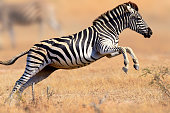 Zebra (Equus burchell's) running and jumping - Kruger National park (South Africa)
