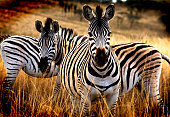 Two curious zebras look up from their grazing at Hluhluwe-Imfolozi Game Reserve in South Africa.