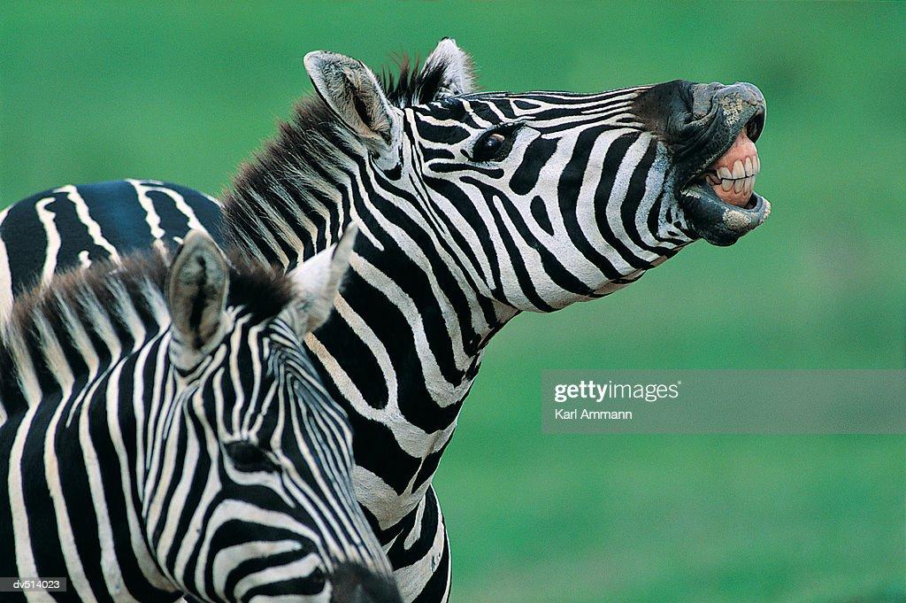 Zebra showing teeth (Equus burchelli) : Stock Photo