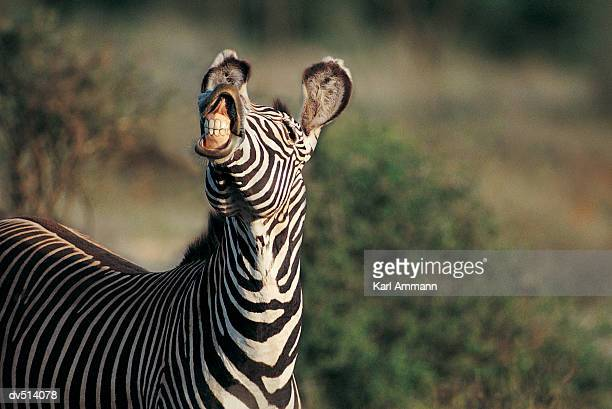 Zebra showing teeth (Equus burchelli)