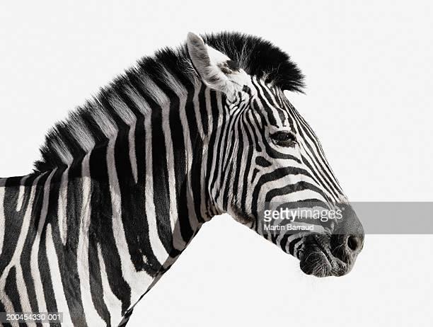 Zebra (Equus burchellii), side vew (Digital Enhancement)