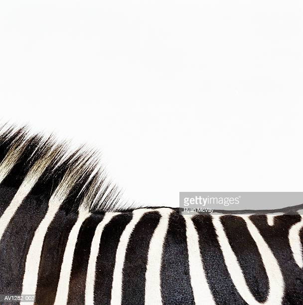 Zebra (Equus sp.), side view, close-up of mane