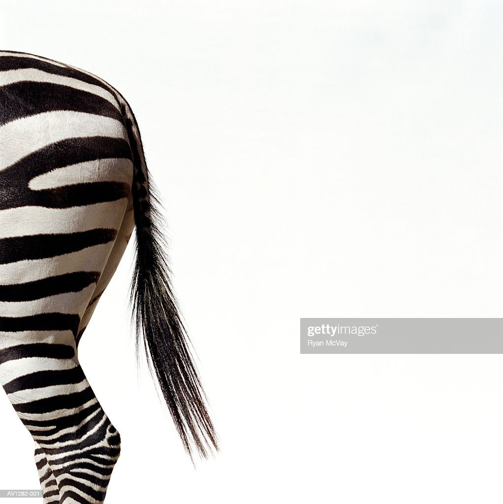 Zebra (Equus sp.), side view, close-up of tail : Stock Photo