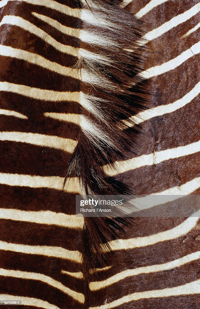 Zebra skin detail, Durban,KwaZulu-Natal,South Africa,Africa : Stock Photo