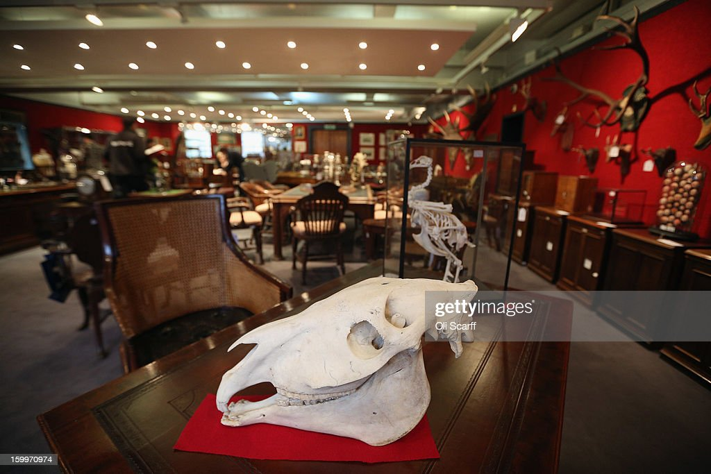 A zebra skull, which is expected to fetch 700 GBP, is displayed in Bonhams auction house ahead of their forthcoming 'Gentleman's Library Sale', on January 24, 2013 in London, England. The auction includes an eclectic mix of rare items such as a pygmy hippo skeleton, a cigar that belonged to Winston Churchill and a MI9 spy catalogue. It will take place in Bonhams Knightsbridge on January 29 and 30, 2013.
