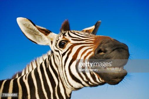 Zebra (Equus burchelli) Smiling at Camera