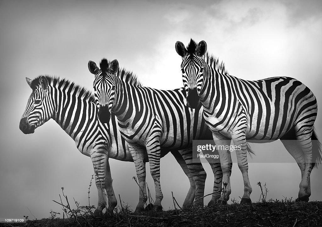 Zebra Stallions in Black and White : Stock Photo