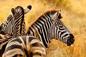 Zebra stripes African safari animals wildlife savanna burchells nature wilderness