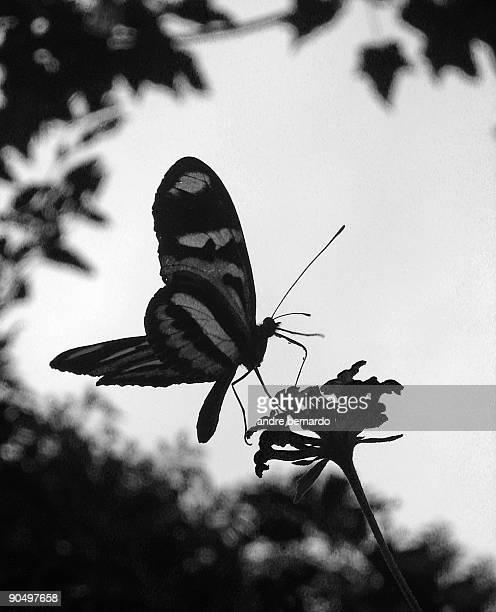 Zebra Swallowtail Butterfly On  Flowers.