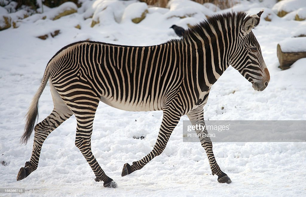 A zebra walks in its enclosure at the zoo in Leipzig, eastern Germany, on December 14, 2012.