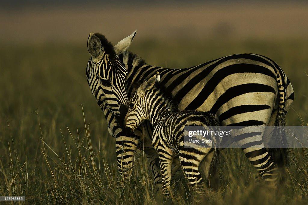Zebra with baby : Stock Photo