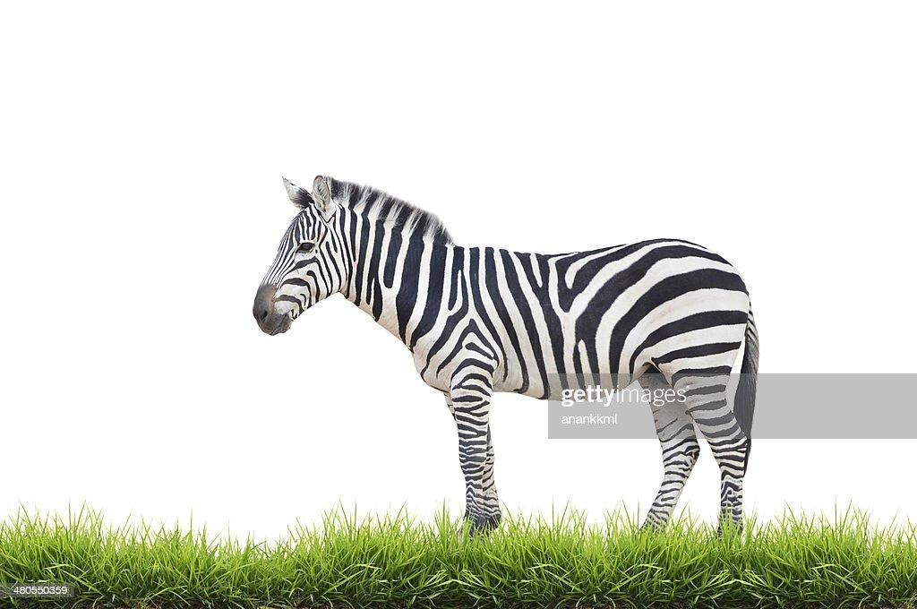 Cebra con hierba verde aislado : Foto de stock