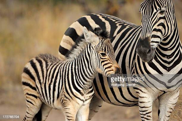 Zebra with her puppy at sunset