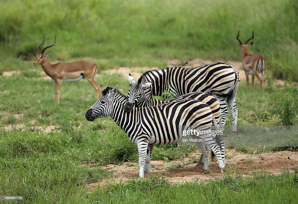 A zebraa are pictured in Kruger National Park on February 6, 2013 in Skukuza, South Africa.