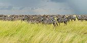 Group of Zebras. Serengeti national park. Dramatic sky.