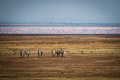 Zebras and pink flamingos in the Serengeti