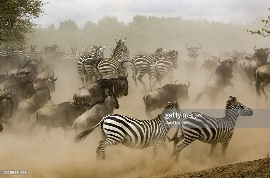 zebras running from predator - photo #3