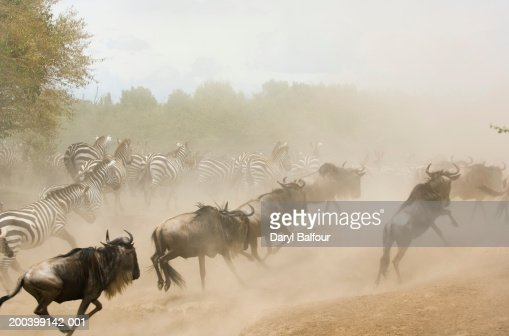 zebras running from predator - photo #23