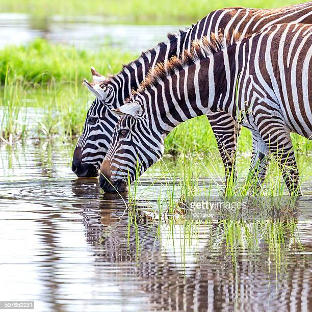 Zebras are drinking water