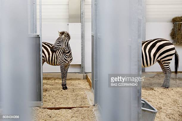 TOPSHOT Zebras arrive at the new location in the Wildlands Adventure Zoo in Emmen The Netherlands on January 4 2016 The zoo has closed its doors...