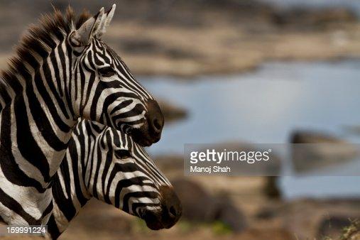 Zebras at Mara river crossing : Stock Photo
