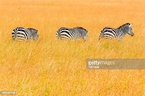 Zebras at Savannah
