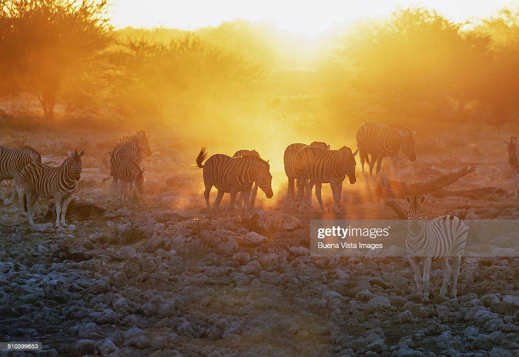 Zebras at sunset. Etosha National Park